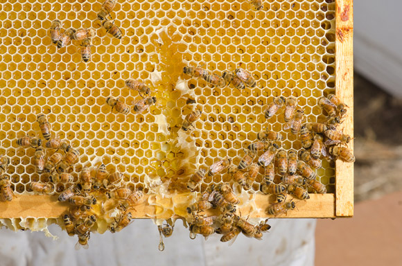 HoneyBees_RioTinto_web_davebrewerphoto